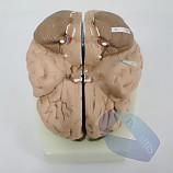 20%↓> 뇌의구조모형/기본형