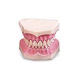20%↓> 치아모형/소형