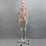 20%↓> 인체골격모형/170칼라