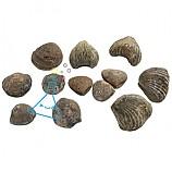조개화석12개세트/조개12종화석표본