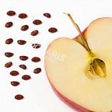 사과나무 씨앗