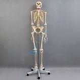 20%↓> 인체골격모형/170일반